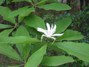 magnoliatripetala
