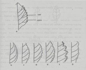 Tepi daun(torehan tidak mempengaruhi bangun helai daun) : a. menunjukan sinus dan angulus, b. rata, c. beringgit, d. bergigi, e. bergerigi, f. bergerigi ganda, g. berombak
